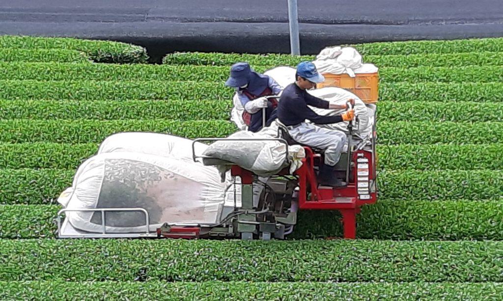 Сбор японского чая_долина Исе